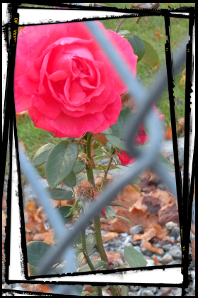 A Single Rose Can Be My Garden